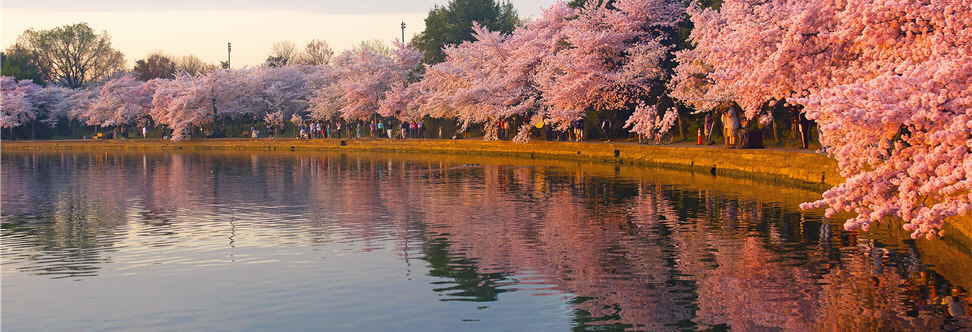 Photo of Cherry Blossoms at the Tidal Basin in Washington D.C.